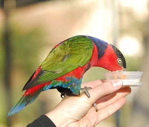 Lorius_lory_-bird_sanctuary_-feeding-8a-3c